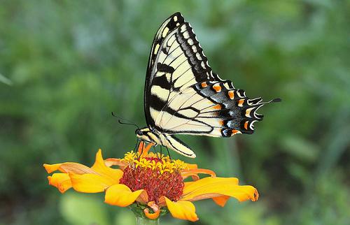 Papilio glaucus photo