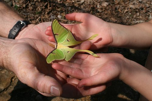 American Hazelnuts are host plant to Actias luna