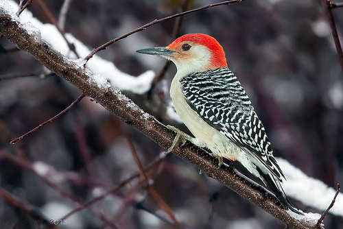red bellied woodpecker photo