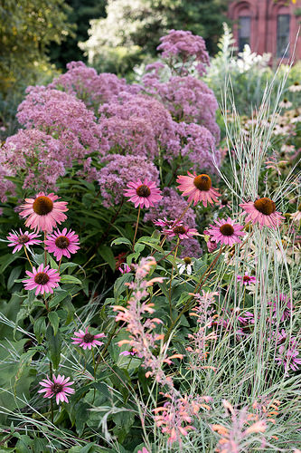 12 Perennials for Attracting Butterflies in the Midwest: joe pye weed