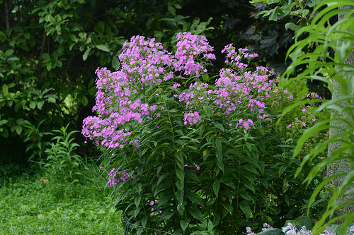 12 Perennials for Attracting Butterflies in the Midwest: garden phlox