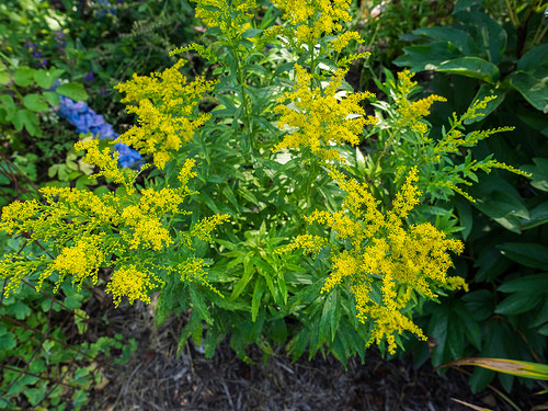 12 Perennials for Attracting Butterflies in the Midwest: garden goldenrod
