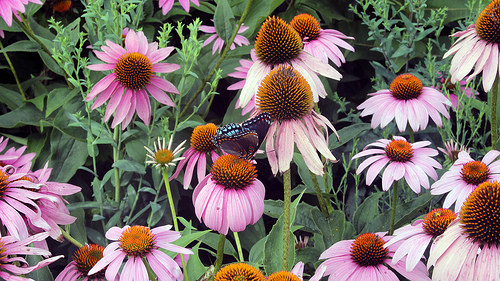 12 Perennials for Attracting Butterflies in the Midwest: purple coneflower
