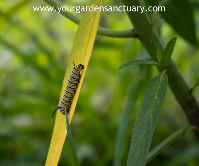 Monarch butterfly caterpillar on newly planted plugs of swamp milkweed