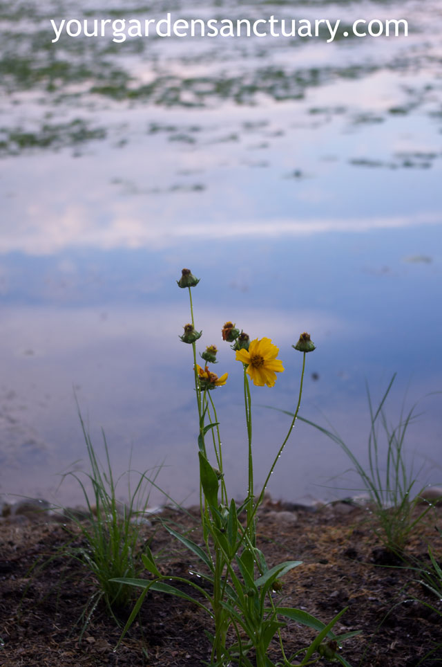 Sand Coreopsis in bloom day of planting