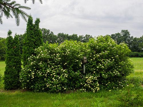 Naturalistic front yard arrowwood viburnum photo