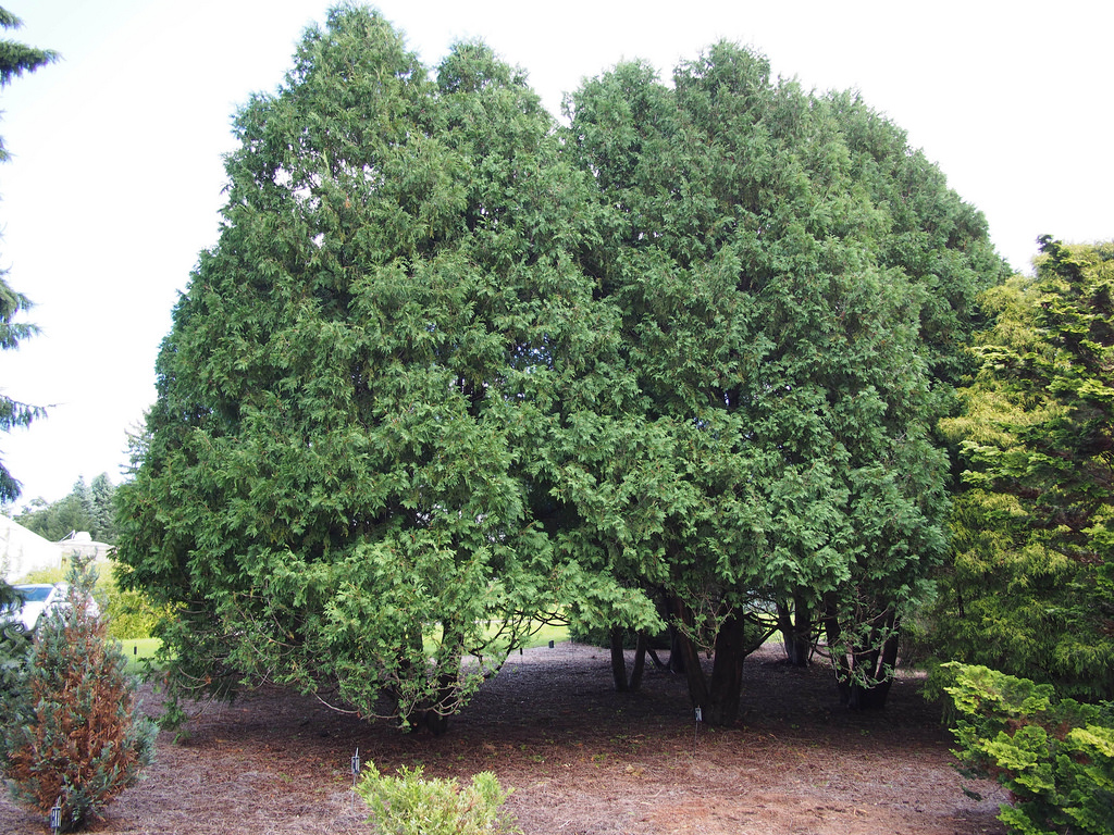 thuja occidentalis nigra photo