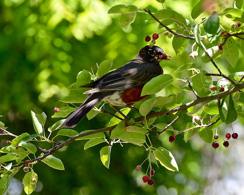 serviceberry bird photo