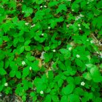Native Groundcovers beat the alternatives by not $#@ing up your environment