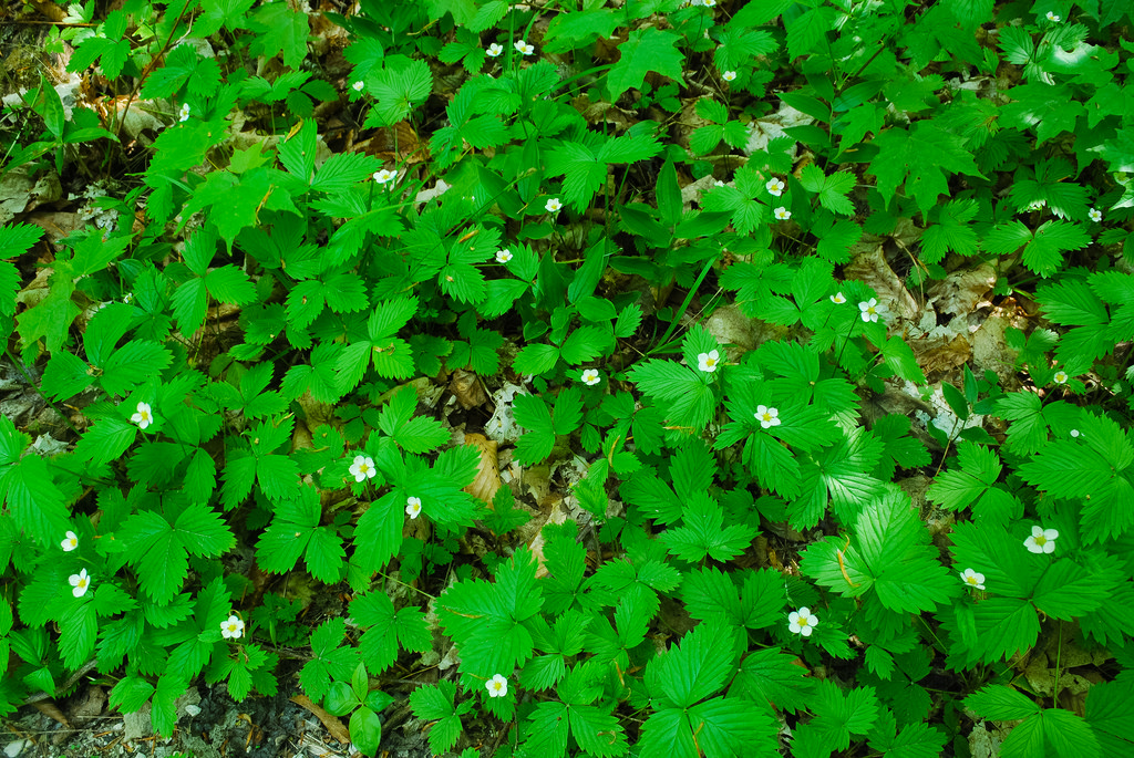 Wild strawberry ground cover