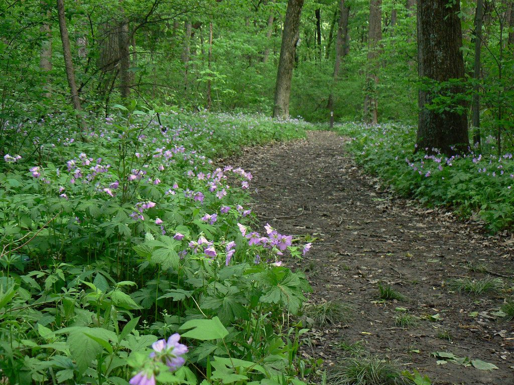 Wild geranium may be the perfect native groundcover