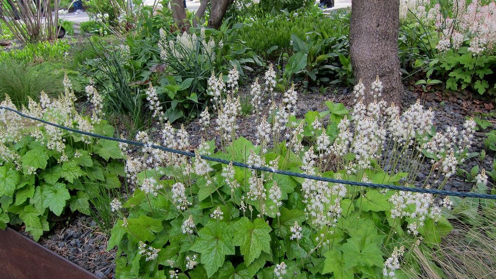 Native groundcover Foamflower (Tiarella cordifolia)