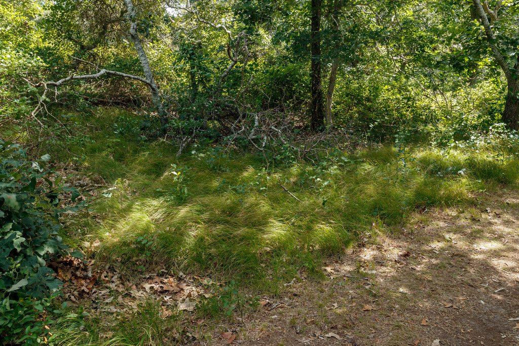 Penn Sedge makes a fine native groundcover for dry shade