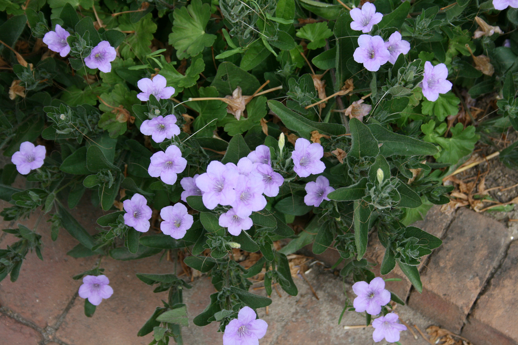 Yes petunia's (well not really a petunia) cab be a native groundcover (Ruellia humilis)