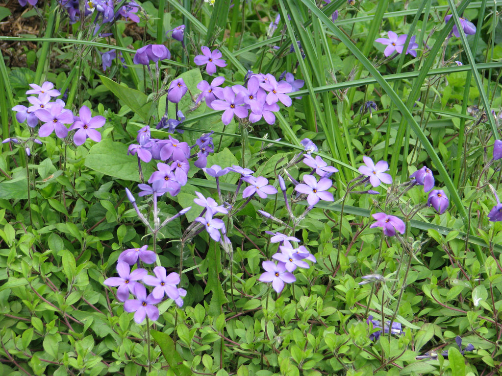 Creeping Phlox (Phlox stolonifera) is a good native groundcover for the shade