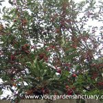 North Star Cherry Fruit on Tree