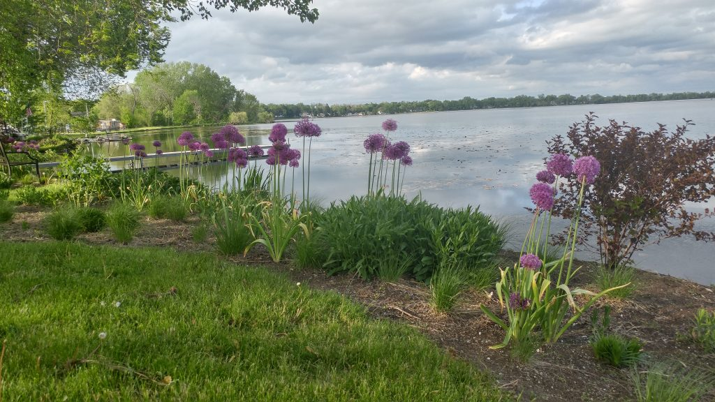 Purple Sensation Bulbs add Spring color to Perennial Plug planting