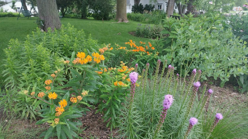 Butterfly Weed Plugs become blooms one year later