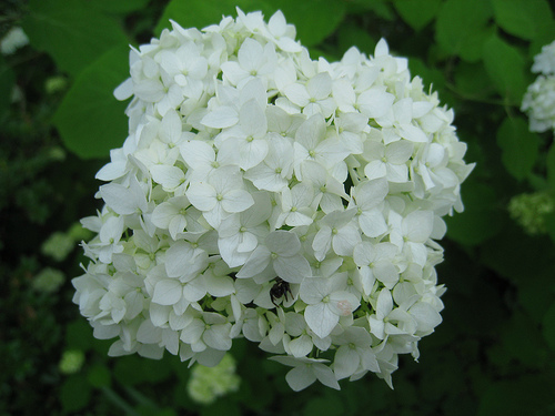 Annabelle Hydrangea flower is no Haas Halo Hydangea