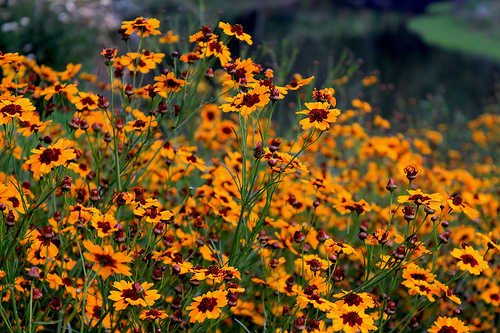 Coreopsis tinctoria photo