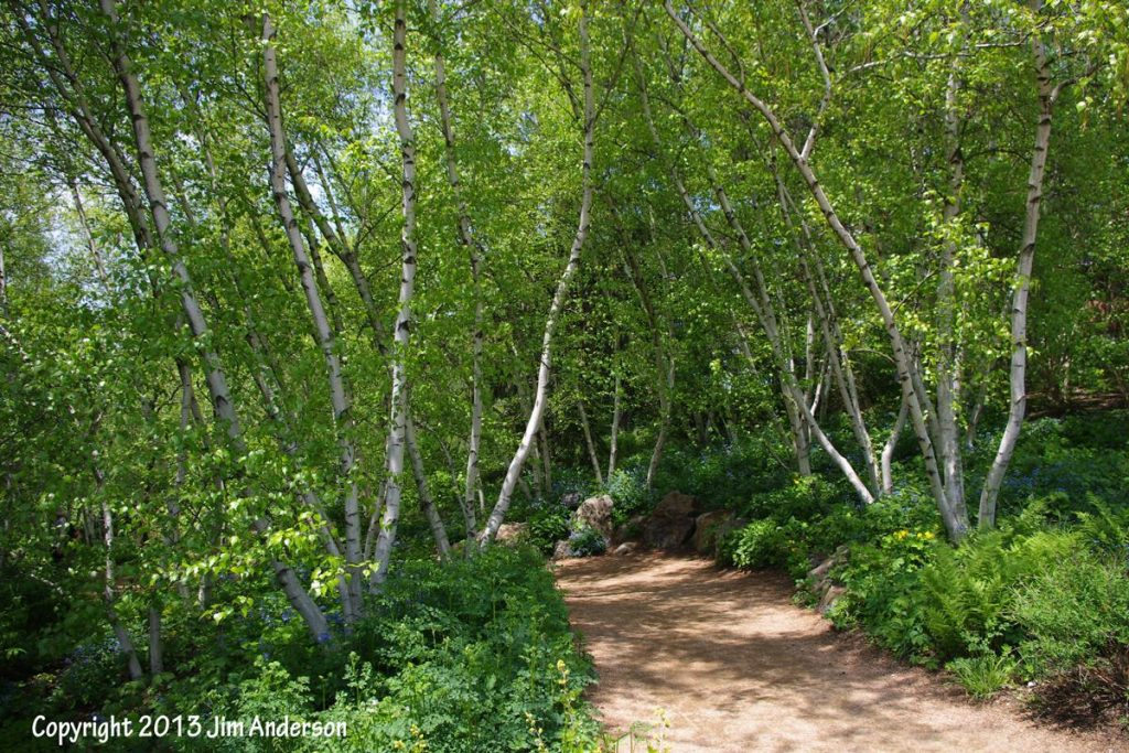 Whitespire Birch for Backyard Ecological Landscape