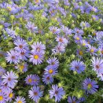 3 Native Perennials for Fall Interest You Might Not Know