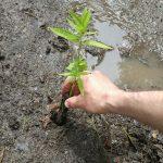 sump_pump_garden_Swamp_milkweed
