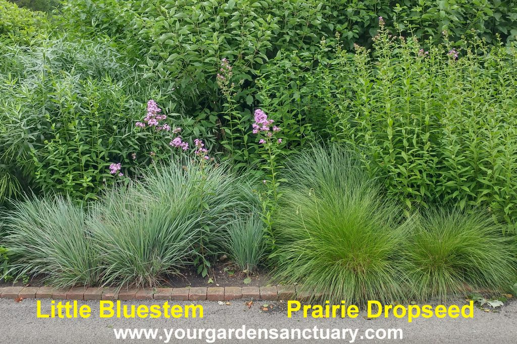 Little Bluestem vs Prairie Dropseed