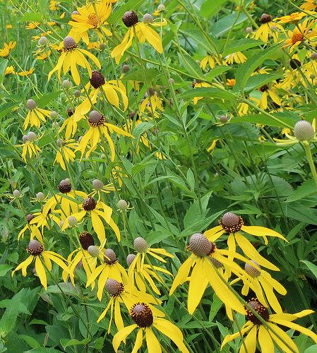Yellow Coneflower photo