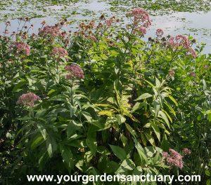 Phantom-Joe-Pye-Weed Eutrochium maculatum 'Phantom'