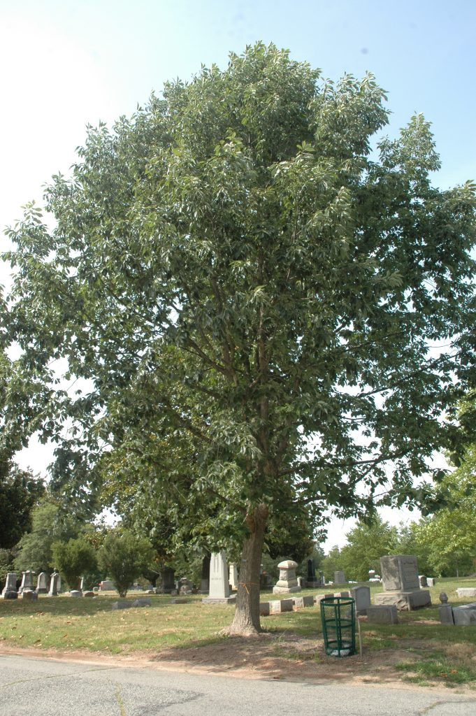Chinkapin Oak is another great tree for carbon sequestration