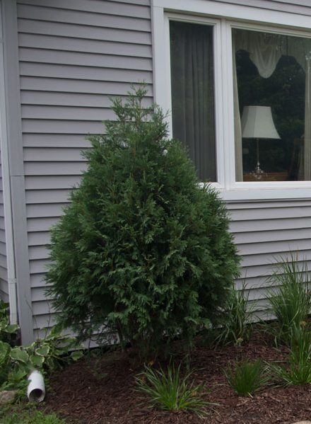 Technito Arborvitae for Wildlife friendly gardens