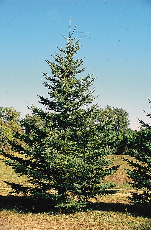 Blackhills Spruce can be great evergreens for Wildlife friendly gardens
