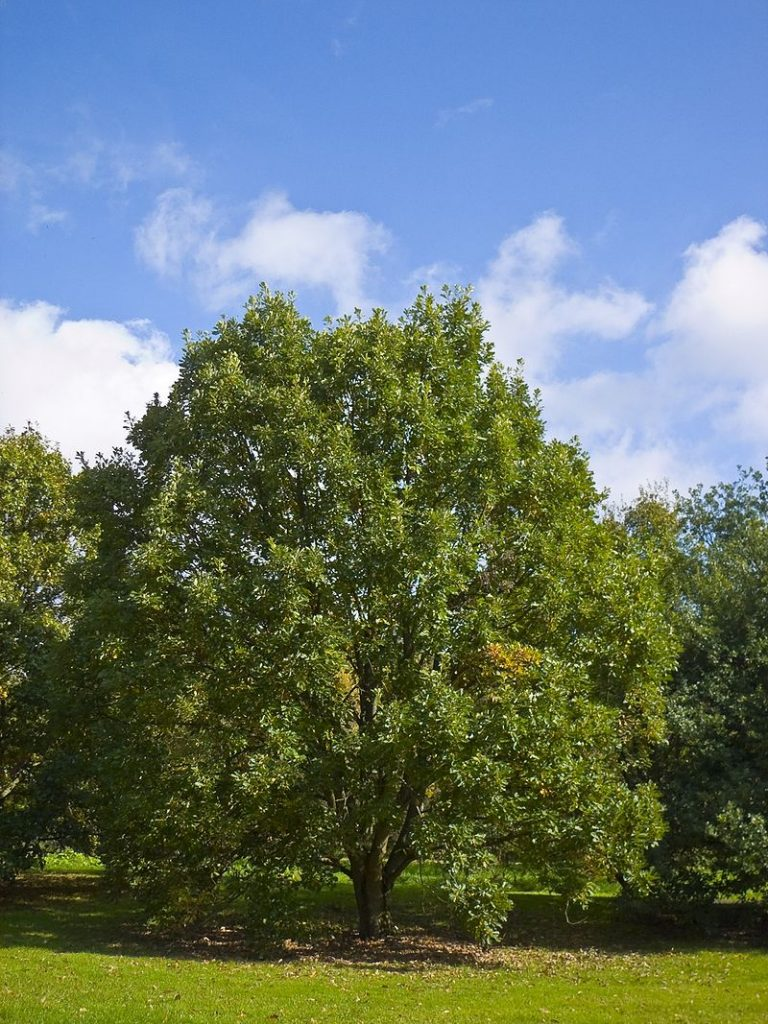 One of the best trees for carbon sequestration is Quercus bicolor