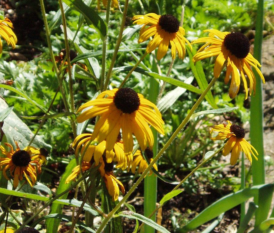 Ecological Planting Ground Layer with Rudbeckia fulgida var. specisa