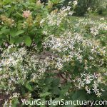 Ecological Planting White Wood Aster
