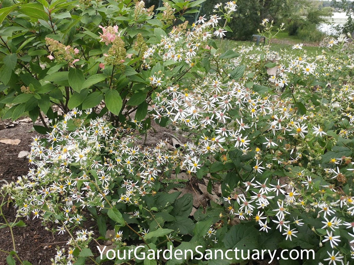 Ecological Planting with White Wood Aster in flower