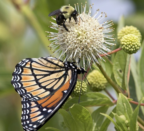 buttonbush makes a great live stake for landscaping