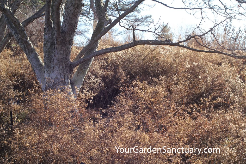 Symphyotrichumcordifolium Avondale in Winter