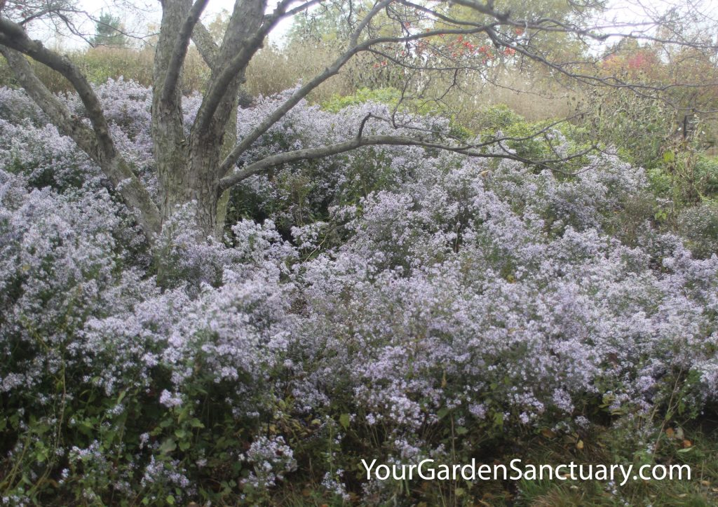 Blue Wood Aster Symphyotrichum cordifolium