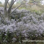 Two shade loving Asters that pollinators flock to