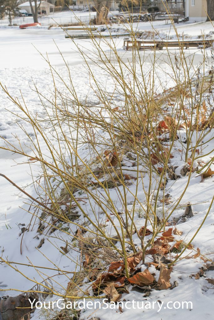 Live Stakes for Landscaping Dogwood Grouping